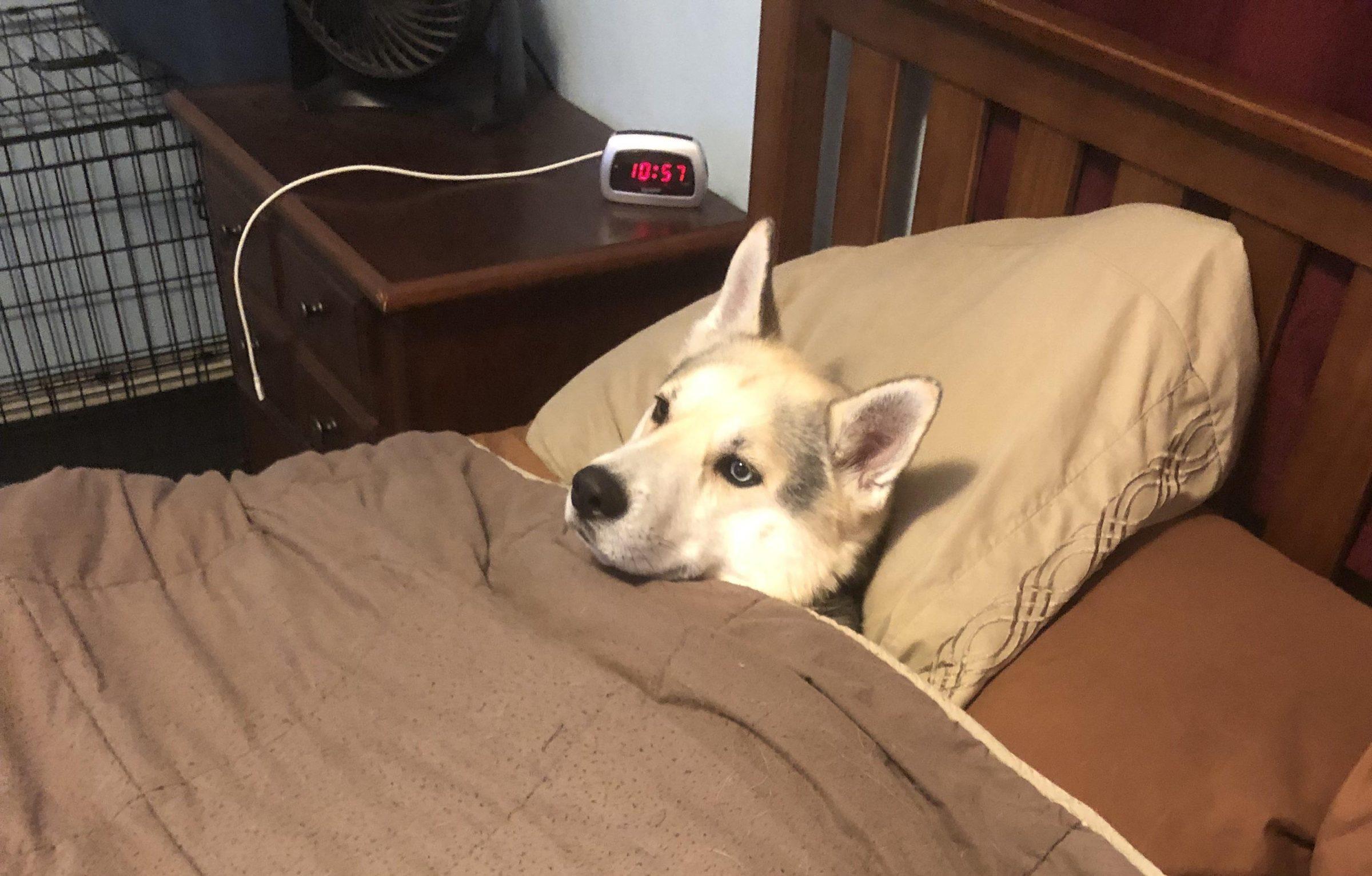 Dog awake in bed  meme template blank