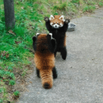 Red Pandas attacking each other  meme template blank