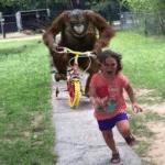 Orangutan Chasing Girl  meme template blank