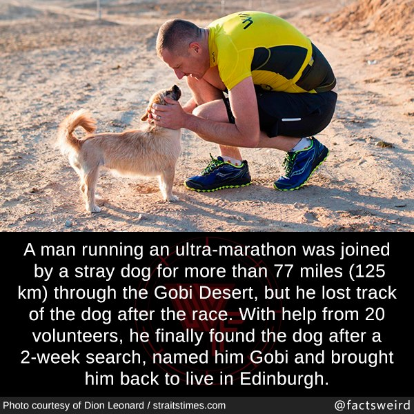 cute wholesome-memes cute text: A man running an ultra-marathon was joined by a stray dog for more than 77 miles (125 km) through the Gobi Desert, but he lost track of the dog after the race. With help from 20 volunteers, he finally found the dog after a 2-week search, named him Gobi and brought him back to live in Edinburgh. Photo courtesy Of Dion Leonard / straitstimes.com @factsweird