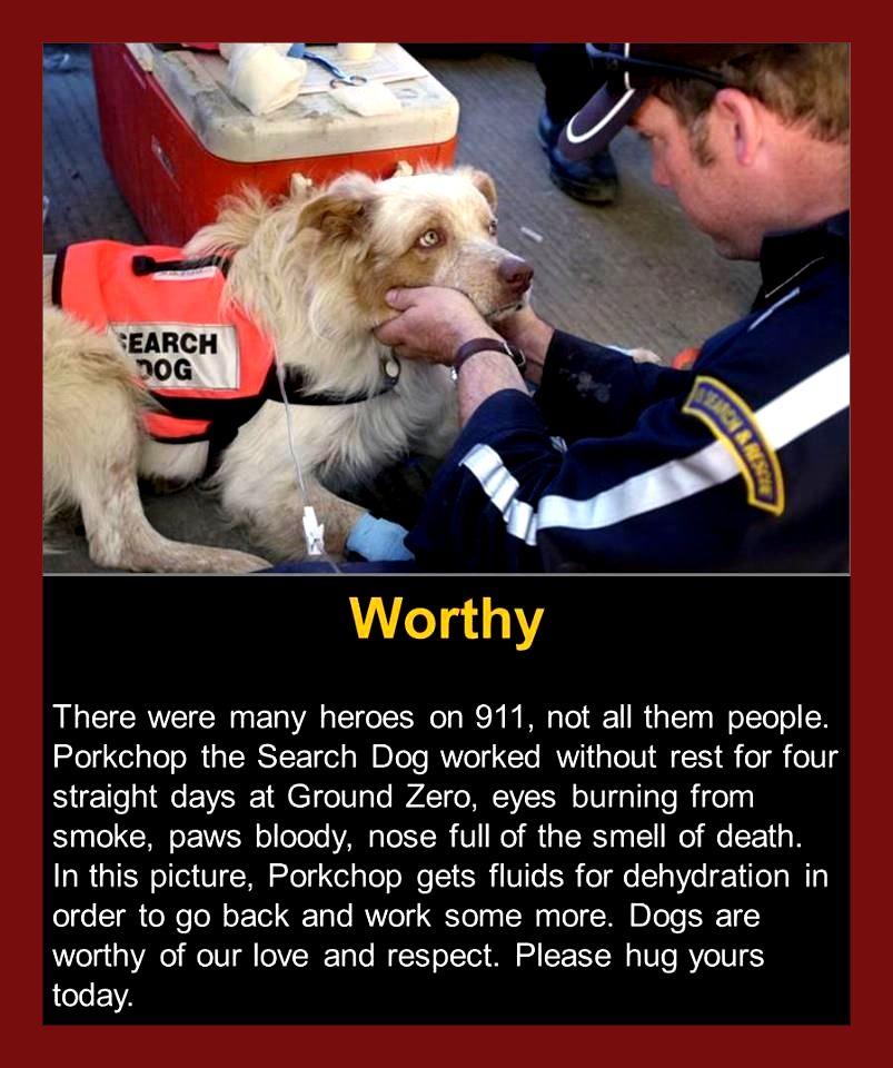 cute wholesome-memes cute text: tEARCH t'OG Worthy There were many heroes on 911, not all them people. Porkchop the Search Dog worked without rest for four straight days at Ground Zero, eyes burning from smoke, paws bloody, nose full of the smell of death. In this picture, Porkchop gets fluids for dehydration in order to go back and work some more. Dogs are worthy of our love and respect. Please hug yours today.