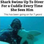 wholesome-memes cute text: Shark Swims Up To Diver For a Cuddle Every Time She Sees Him This has been going on for 7 years!  cute