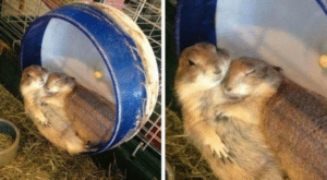 Hamsters cuddling Hugging meme template