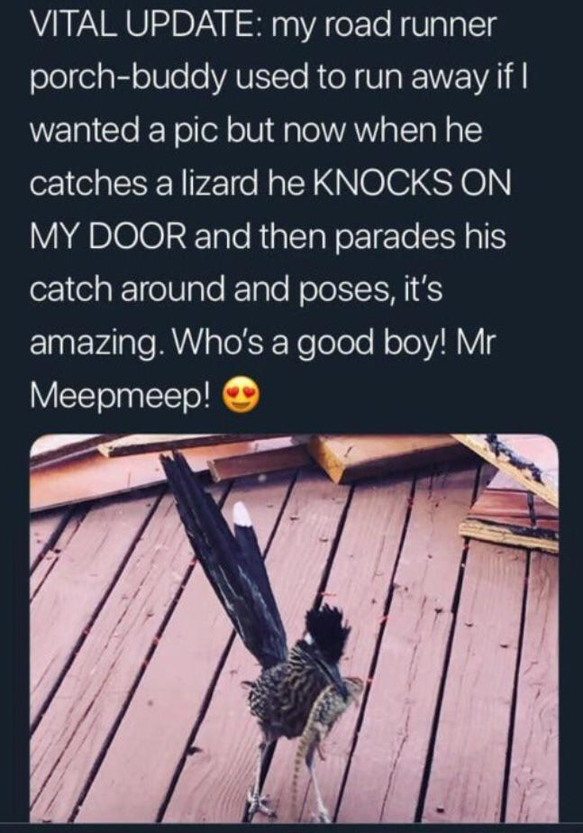cute wholesome-memes cute text: VITAL UPDATE: my road runner porch-buddy used to run away if I wanted a pic but now when he catches a lizard he KNOCKS ON MY DOOR and then parades his catch around and poses, it's amazing. Who's a good boy! Mr Meepmeep! @
