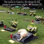 political-memes political text: It has been 7 years. The cemetery does not close the gates until he arrives every night. His name is Captain. He sleeps by his master