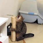 Cat screaming with scratching post Animal meme template blank  Cat, Screaming