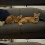 Cat bites another cat  meme template blank Bites