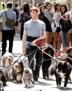 Daniel Radcliffe walking multiple dogs Walking meme template
