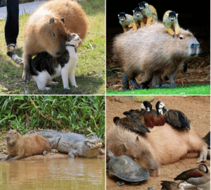 Capy bara friends with everyone Wholesome meme template