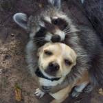 Raccoon Hugging Dog None meme template blank  Animal, Raccoon, Hugging, Dog, Love, Affection, Wholesome