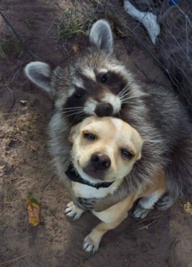 Raccoon Hugging Dog Wholesome meme template