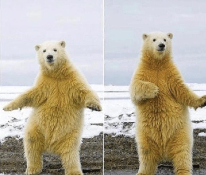 Meme Generator - Polar Bear Dancing - Newfa Stuff