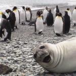 Seal in front of penguins Animal meme template blank  Animal, Seal, Penguin, Walrus, Vs, Ignoring, Happy