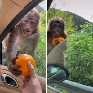 Giving monkey an orange Food meme template
