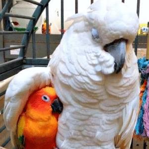Big parrot cuddling small bird Hugging meme template