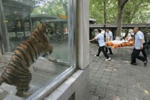 Tiger watching another tiger being carried away on stretcher Sad meme template